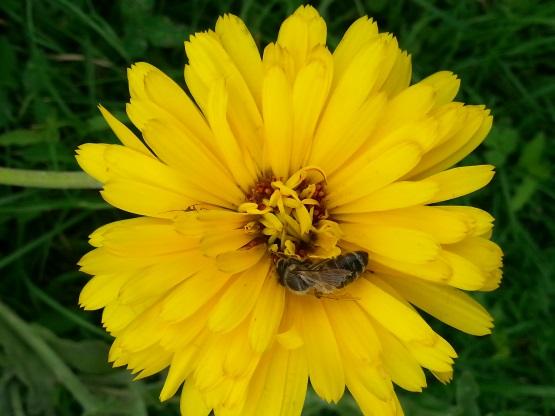 Za 1 g peloda mora čebela obleteti 50 cvetov