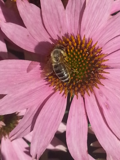 Cvetni prah čebele nabirajo na cvetovih