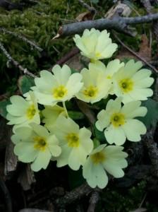 Marjetice oznanjajo pomlad